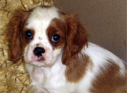 King Charles Puppies for Sale