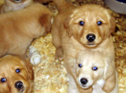 Golden Retrevier Puppies for Sale