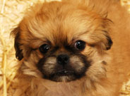 Pekinese Puppies for Sale