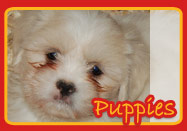 Puppy Breeds We Carry